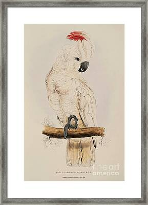 Salmon Crested Cockatoo Framed Print