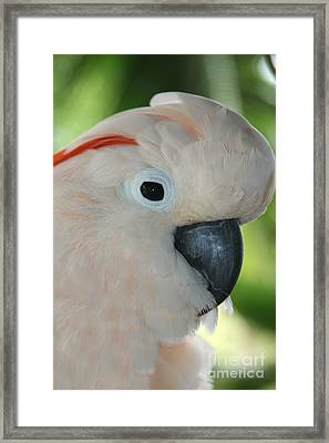 Salmon Crested Moluccan Cockatoo Framed Print by Sharon Mau