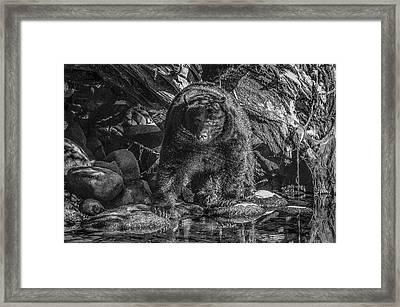 Salmon Seeker Black Bear  Framed Print
