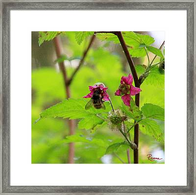 Salmonberry Honey Framed Print