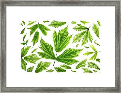 Salmonberry Leaves Framed Print by Masako Metz