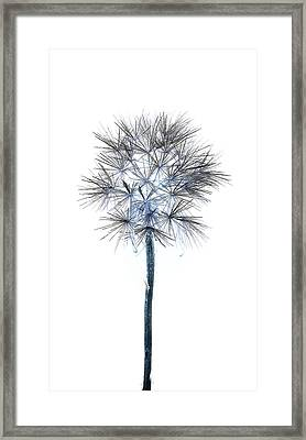 Salsify Seed Head Framed Print by Gareth Davies