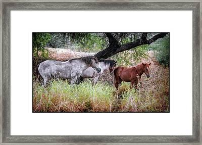 Salt River Wild Horses Framed Print