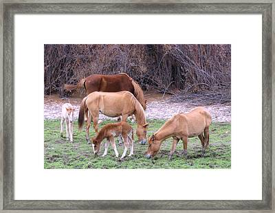 Salt River Wild Horses In Winter Framed Print