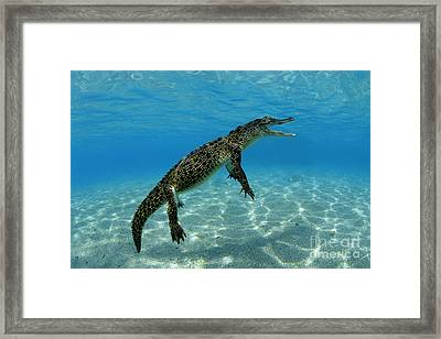 Saltwater Crocodile Framed Print by Franco Banfi and Photo Researchers