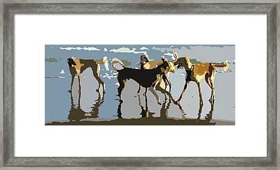 Salukis On The Beach Framed Print by Frank Vigneri
