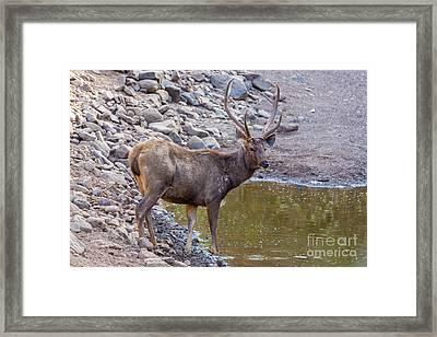 Sambar Deer, India Framed Print by B. G. Thomson
