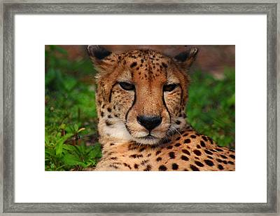 Framed Print featuring the photograph Samson by Michiale Schneider