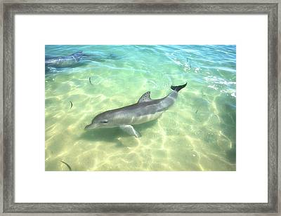 Samu 1 , Monkey Mia, Shark Bay Framed Print by Dave Catley