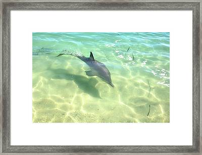 Samu 3 , Monkey Mia, Shark Bay Framed Print by Dave Catley
