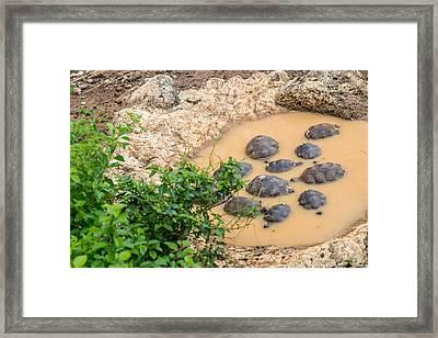 San Cristobal 2-year Old Tortoises Framed Print by Harry Strharsky