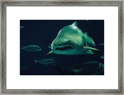 Sand Tiger Shark Framed Print