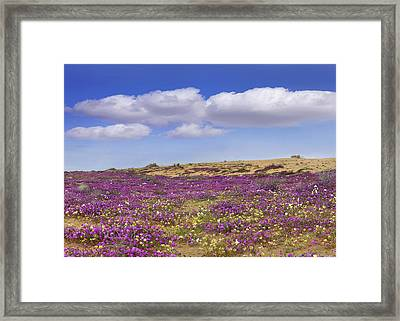 Sand Verbena Carpeting The Dune Framed Print
