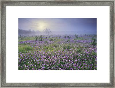 Sand Verbena Flower Field At Sunrise Framed Print