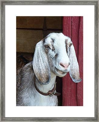 Framed Print featuring the photograph Sandburg Goat by Sarah Crumpler