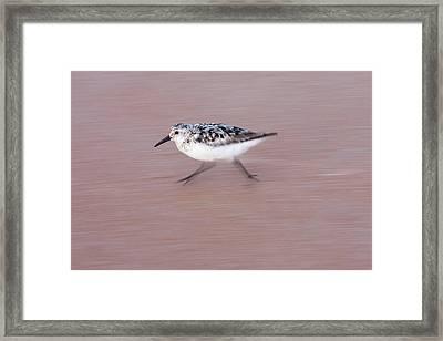 Sanderling On The Run Framed Print