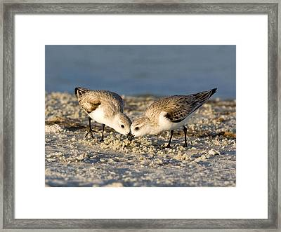 Sanderling Pair Framed Print by Phil Stone