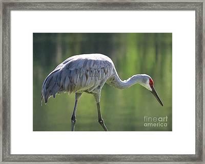 Sandhill And Green Pond Framed Print by Carol Groenen
