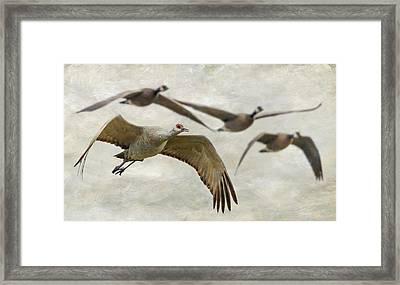 Sandhill Crane And Company Framed Print