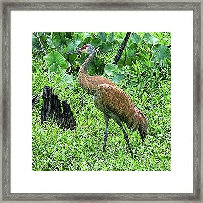 Sandhill Crane At Sandy Ridge Reservation Framed Print