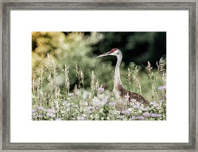 Sandhill Crane Framed Print by Cathy Cooley
