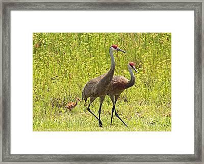 Sandhill Crane Family Framed Print