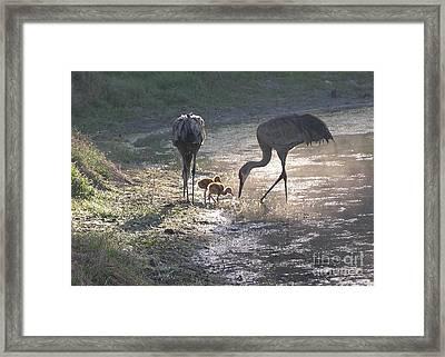 Sandhill Crane Family In Morning Sunshine Framed Print