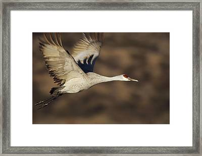 Sandhill Crane Flying Bosque Del Apache Framed Print by Tim Fitzharris