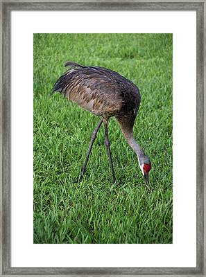 Framed Print featuring the photograph Sandhill Crane II by Richard Rizzo