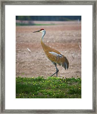 Framed Print featuring the photograph Sandhill Crane In Profile by Bill Pevlor