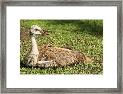 Sandhill Crane Juvenile Closeup Framed Print
