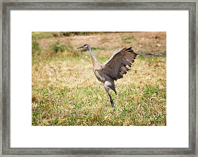 Framed Print featuring the photograph Sandhill Crane Morning Stretch by Ricky L Jones