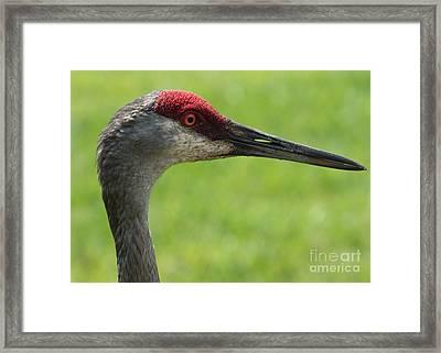 Sandhill Crane Profile Framed Print by Carol Groenen
