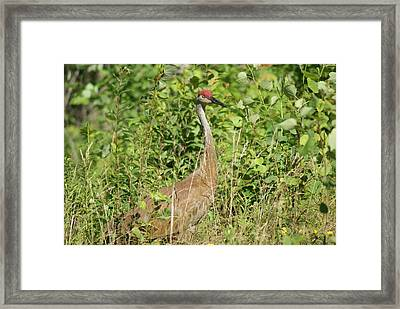 Framed Print featuring the photograph Sandhill Crane by Ron Read