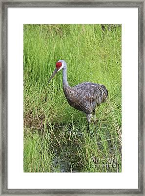 Sandhill Crane Through Green Reeds Framed Print by Carol Groenen
