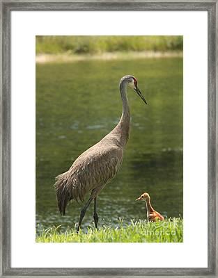 Sandhill Crane With Baby Chick Framed Print by Carol Groenen