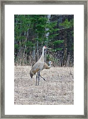 Framed Print featuring the photograph Sandhill Cranes 1166 by Michael Peychich