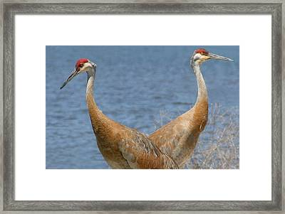 Sandhill Cranes As Bookends Framed Print by Brian M Lumley