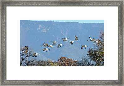Sandhill Cranes In Flight Framed Print