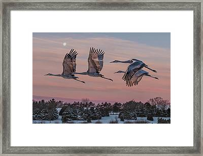 Sandhill Cranes In Flight Framed Print by Patti Deters
