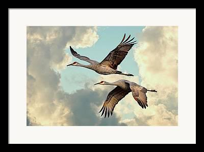 Crane Migration Framed Prints