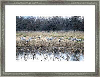 Sandhill Cranes In Gray Framed Print by Carol Groenen