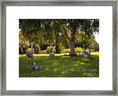 Sandhill Cranes In The Shade Framed Print by Zina Stromberg