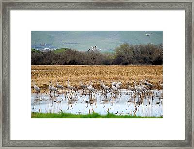 Sandhill Cranes In The Valley Framed Print