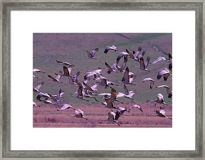Sandhill Cranes  Framed Print by Jeff Swan