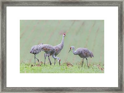Framed Print featuring the photograph Sandhill Cranes Of Ridgefield by Angie Vogel