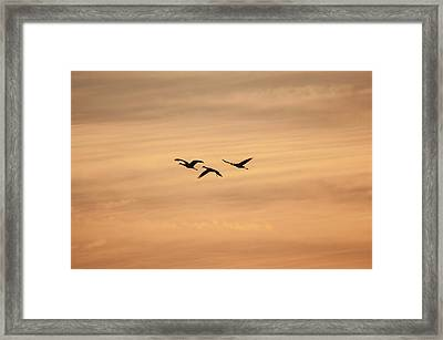 Sandhill Cranes Framed Print by Happy Home Artistry