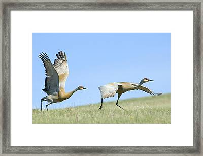 Sandhill Cranes Taking Flight Framed Print