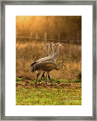 Framed Print featuring the photograph Sandhill Cranes Texas Fence-line by Robert Frederick