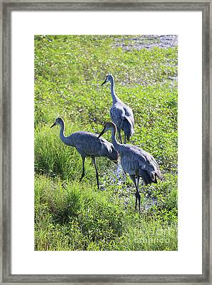 Sandhill Cranes Through The Reeds Framed Print by Carol Groenen